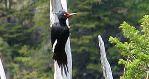 Magellanic Woodpecker Argentina