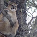 cougar U of A