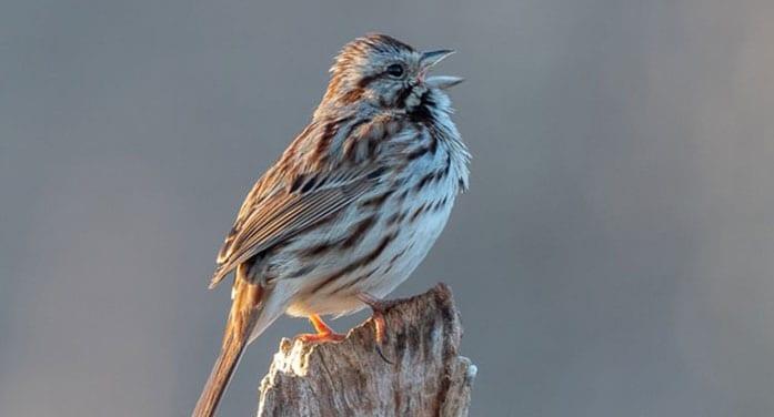 Why birds sing before winter weather breaks