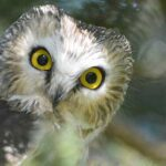 Northern saw-whet Owl nature wildlife bird
